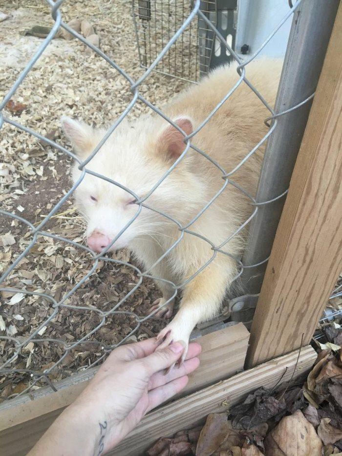 «Агрессивная» енотиха-альбинос просто не может перестать обнимать свою спасительницу (11 фото)