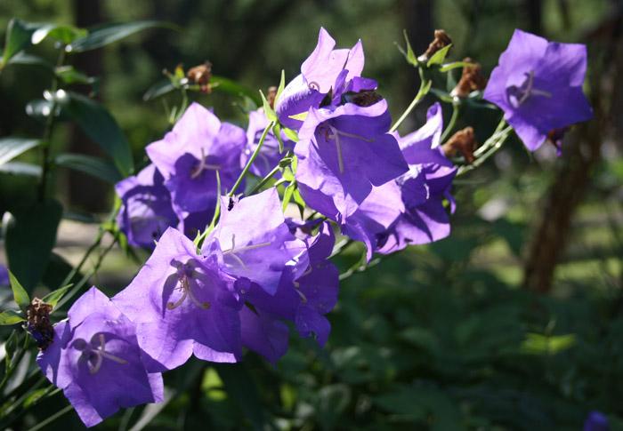 синие_цветочки.JPG