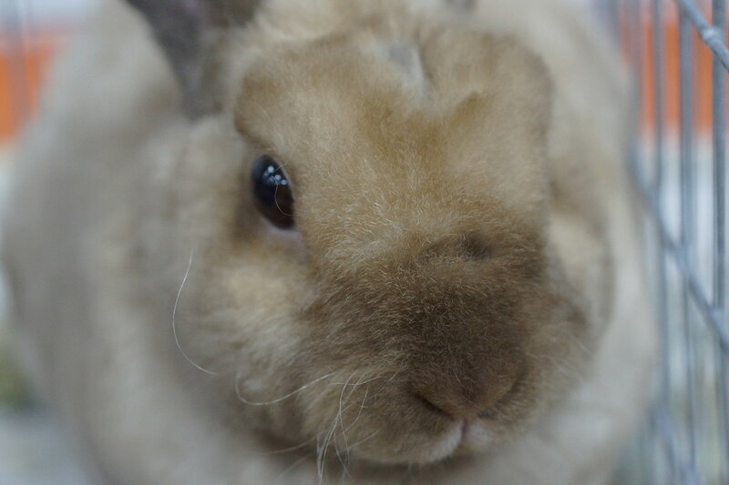 Кролик рекс