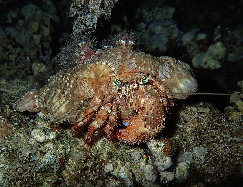 Анемоновый рак-отшельник (Dardanus tinctor), он же Дарданус обыкновенный