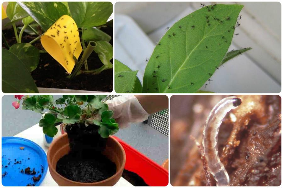 Как избавиться от грибных комариков (сциарид) и трипсов на комнатных растениях?