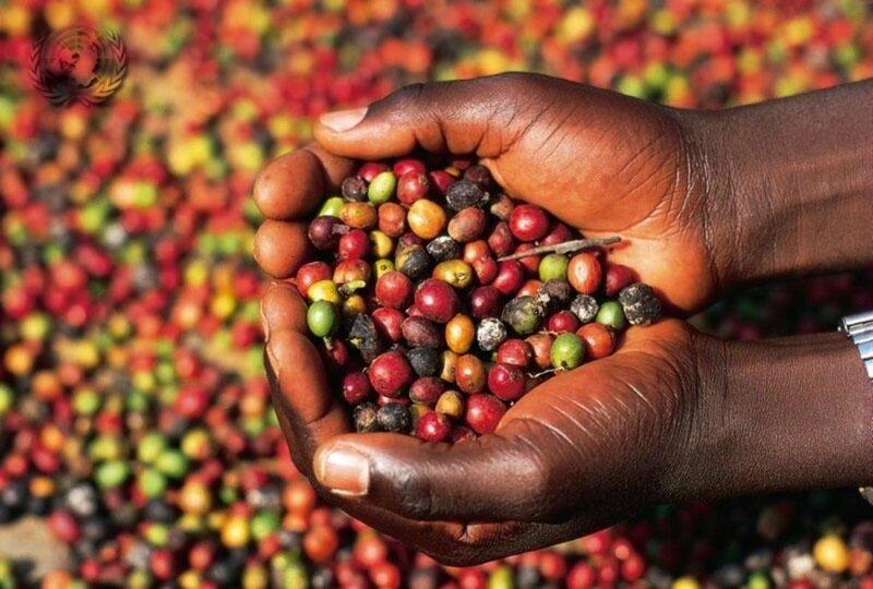 Любите кофе? Этот сорт каждый день вы пить не будете   фото, как делается кофе «Копи Лювак»