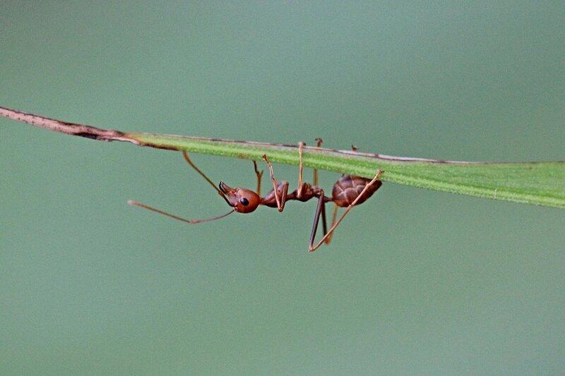 Муравей-ткач (азиатский муравей-портной, Oecophylla smaragdina) на листе пальмы