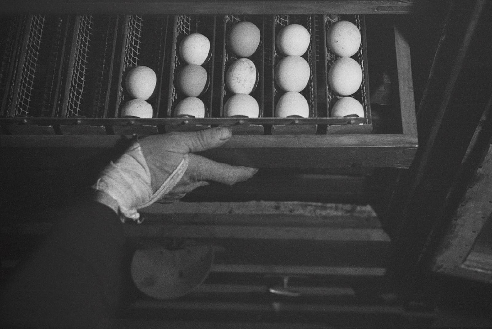 1938. Свежие яйца на учебной ферме в лагере для немецкой еврейской молодежи, ожидающей разрешения на эмиграцию. Бранденбург, Германия