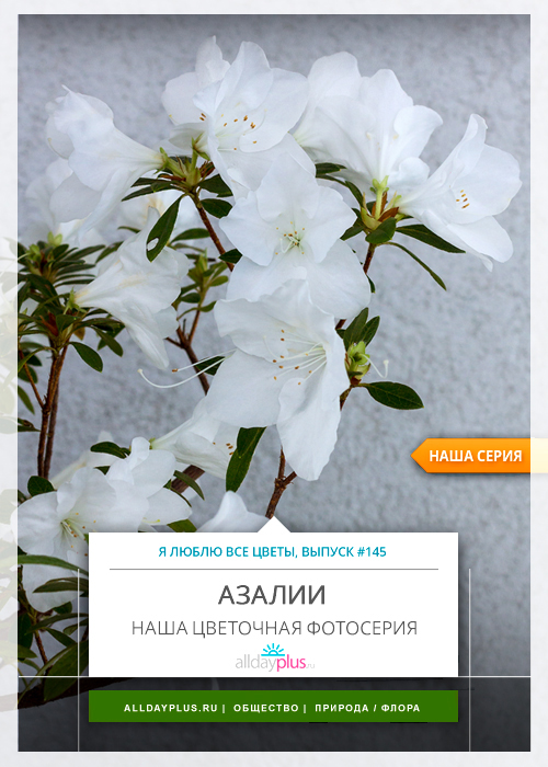 Я люблю все цветы, выпуск 145   Аза́лия.
