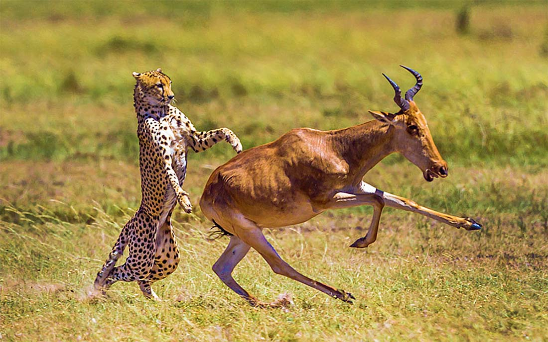 This-antelope-cheated-death-by-escaping-the-clutches-of-a-hungry-cheetah-by-Manoj-Shah-Photography(1100).