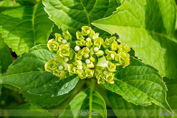 Я люблю все цветы, выпуск 126 | Гортензия - «Сосуд с водой».