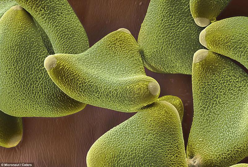 6. Пыльца леукофиллума имеет липкую оболочку, чтобы животные могли переносить ее. (MICRONAUT / CATER
