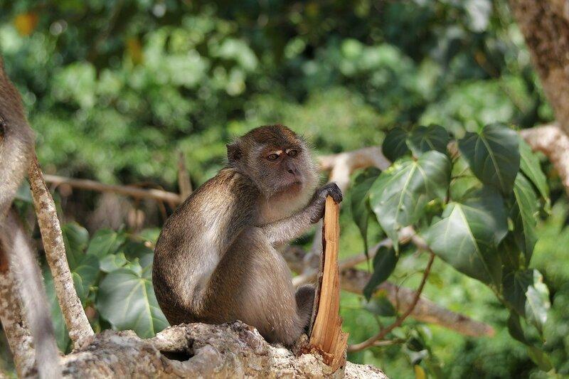 Длиннохвостый макак (яванский, макак-крабоед, Macaca fascicularis) на обезьяньей тропе с пляжа Ао Нанг на Pai Plong в Таиланде