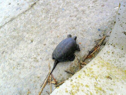 Черепаха на бетоне, сентябрь, Азовское побережье, осенние картинки