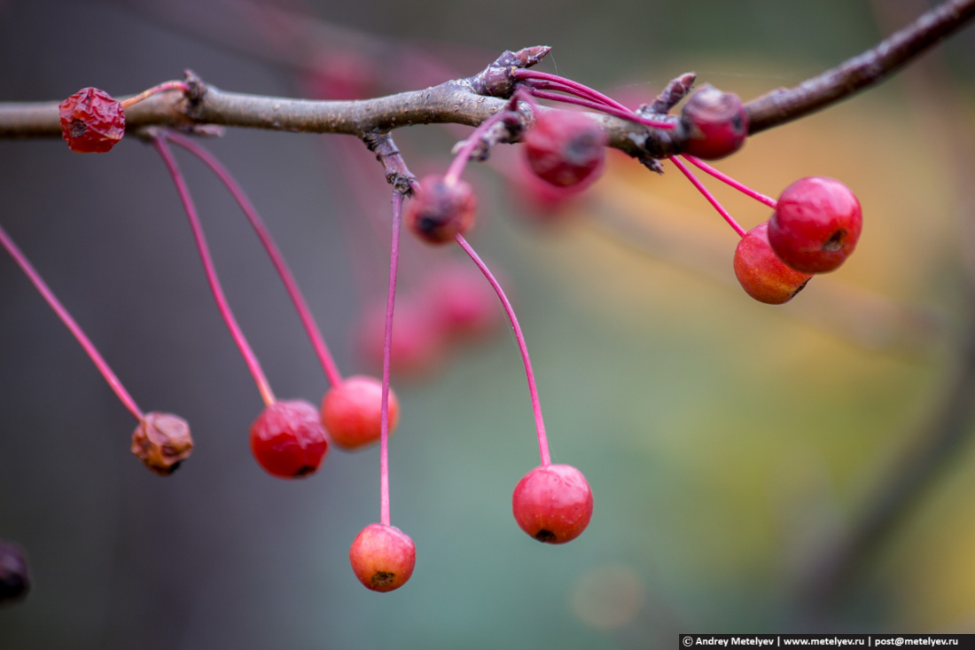 яркие яблочки дикие