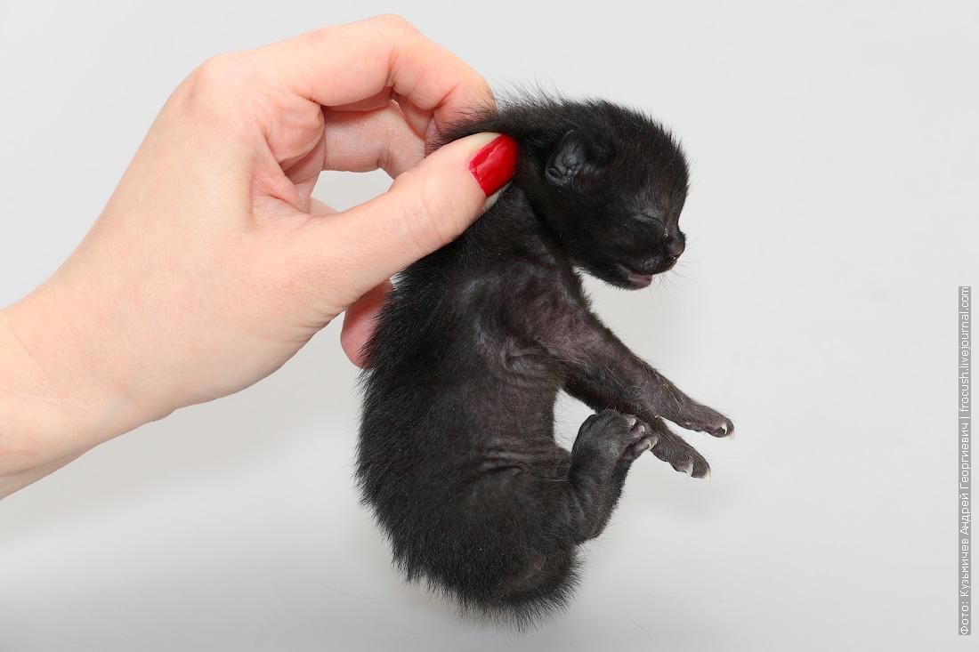 фотография Бомбейская кошка котенок