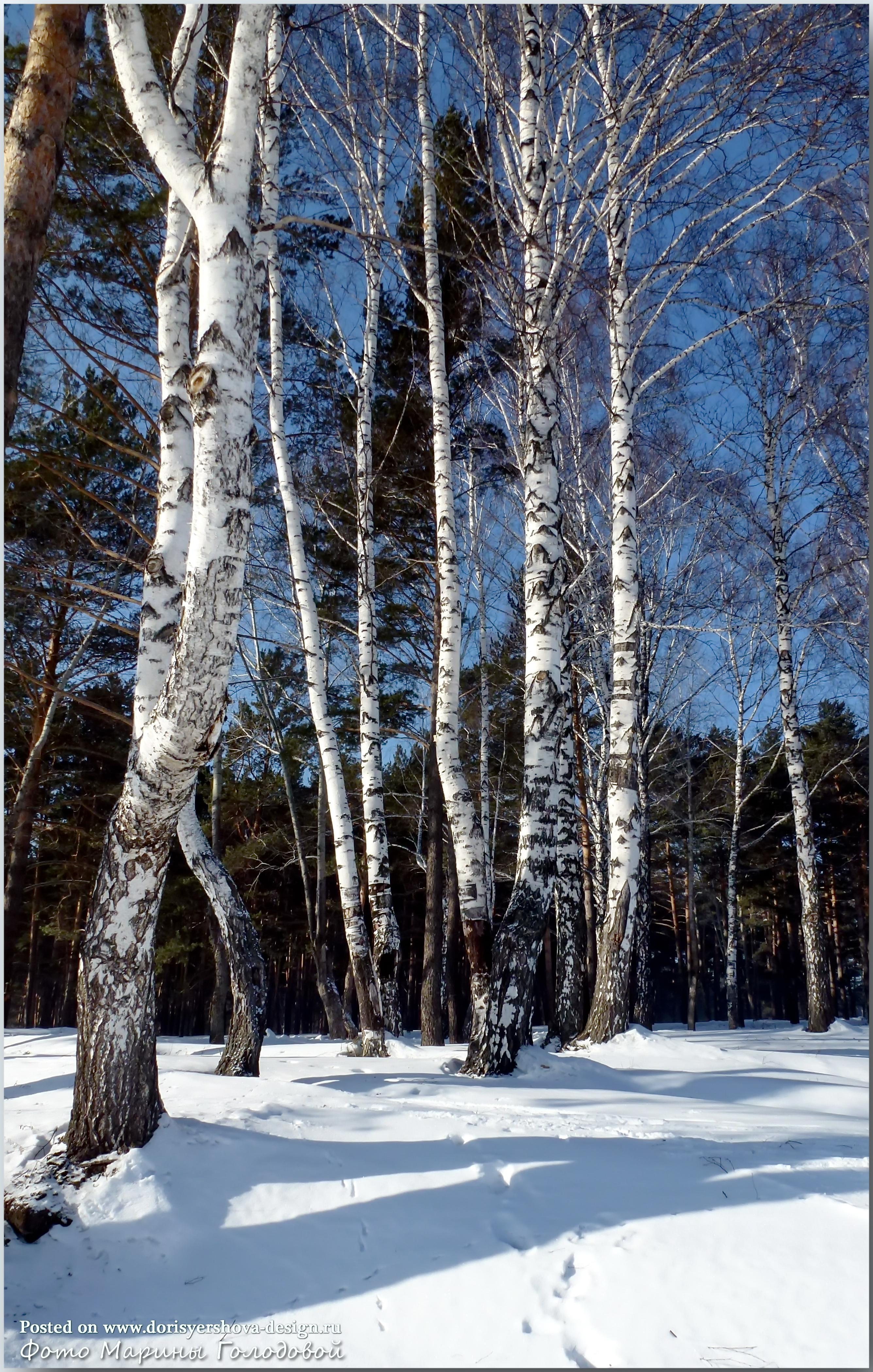 Березы  в Зеньковском парке. Фото - © Марина Голодова