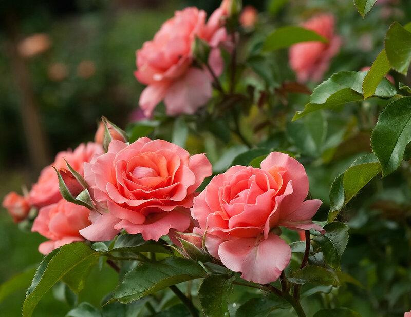 Розы,розы,розы.....
