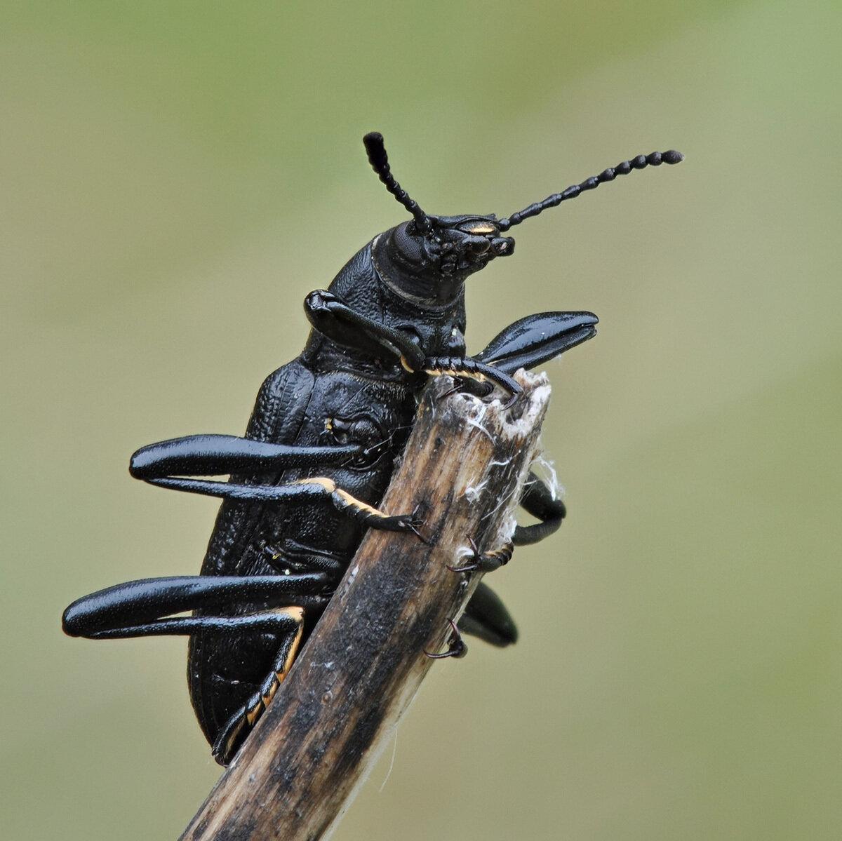 Чернотелка лесная (Upis ceramboide). Автор фото: Владимир Брюхов