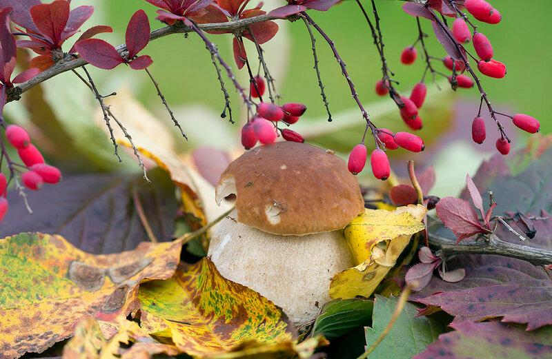 Любимый белый гриб