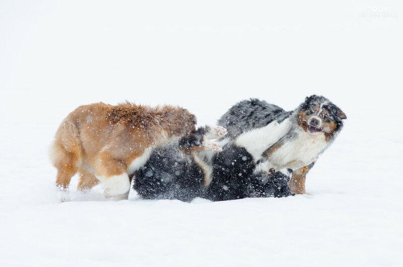 Мои собаки: Зена и Шива и их друзья весты - Страница 6 0_a76e9_3dd92a6f_XL