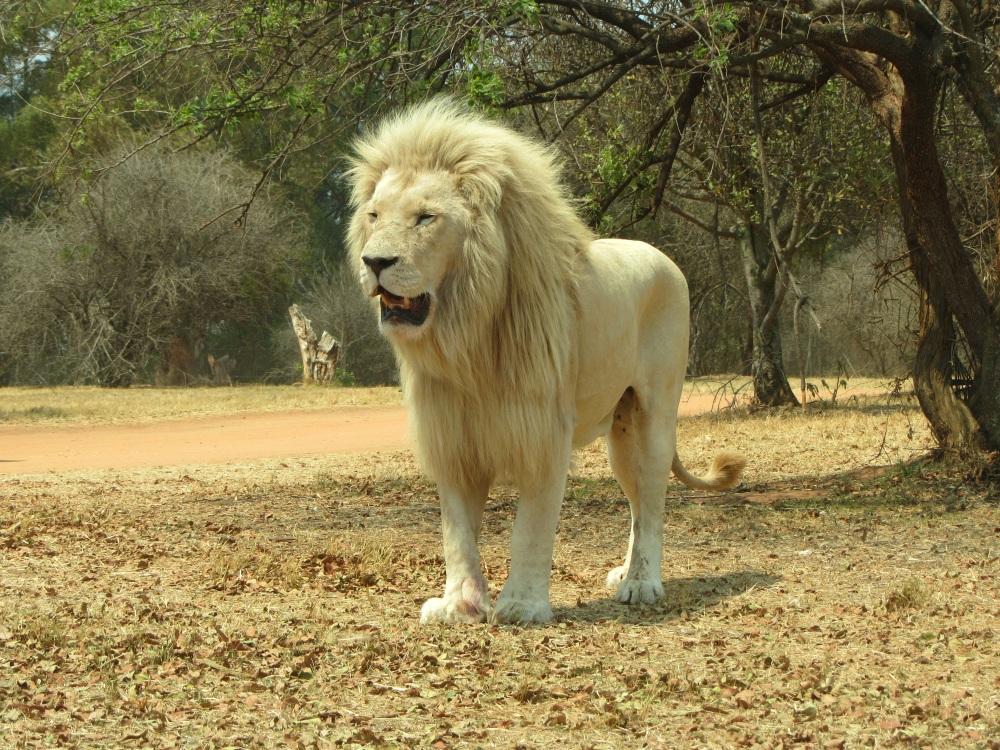 lions54.jpg