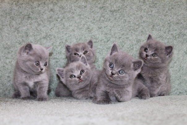 британские котята питомник Silvery Snow