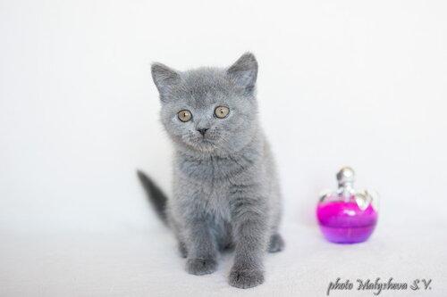 Belten`s Dafna (кошка) BRIa 2 месяца