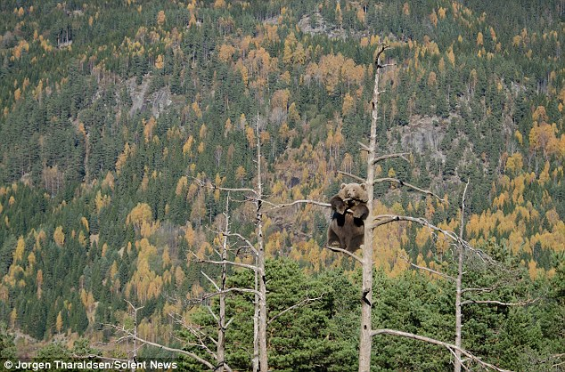 медведь сидит на дереве