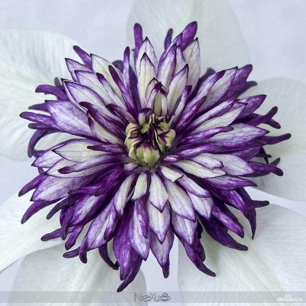 5a8Я люблю все цветы, выпуск 129 | Фрезия - цветок аристократов и клематис - «цветок страсти».