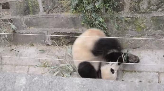 Большие панды устроили разборку