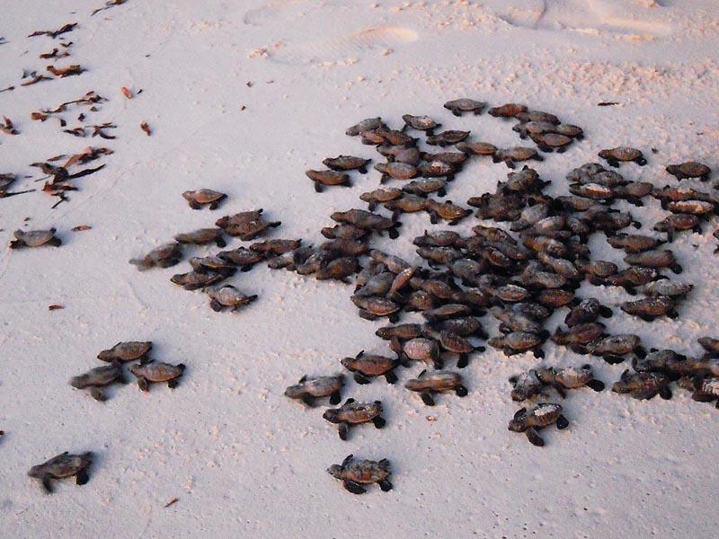 Черепашки ползут к морю
