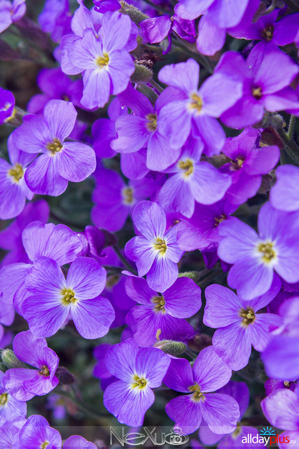 Я люблю все цветы, выпуск 151 | Анемоны - «дочери ветра».