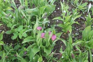 Редкие растения в наших садах - Страница 7 0_16e0ee_1f9b69f9_M