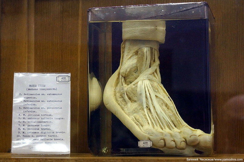 Лето. МГМУ. Музей анатомии. 27.08.15.48..jpg