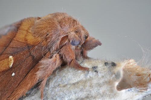 Альбом:  Мир под ногами/  Чешуекрылые - Lepidoptera / Неразобранное в Чешуекрылые Автор фото: Владимир Брюхов