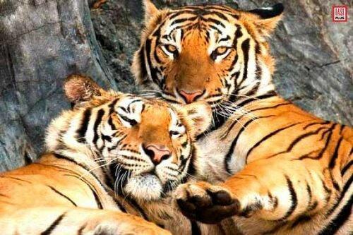 питомник тигров.jpg