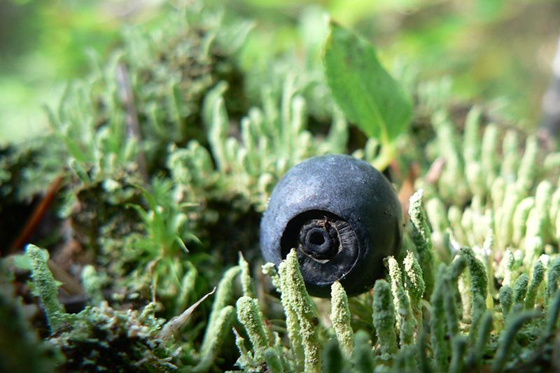 черника в кустах