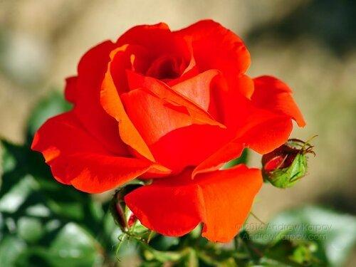 Güzel-güller-çiçekler-duvar-kağıtları-resimleri-227.jpg