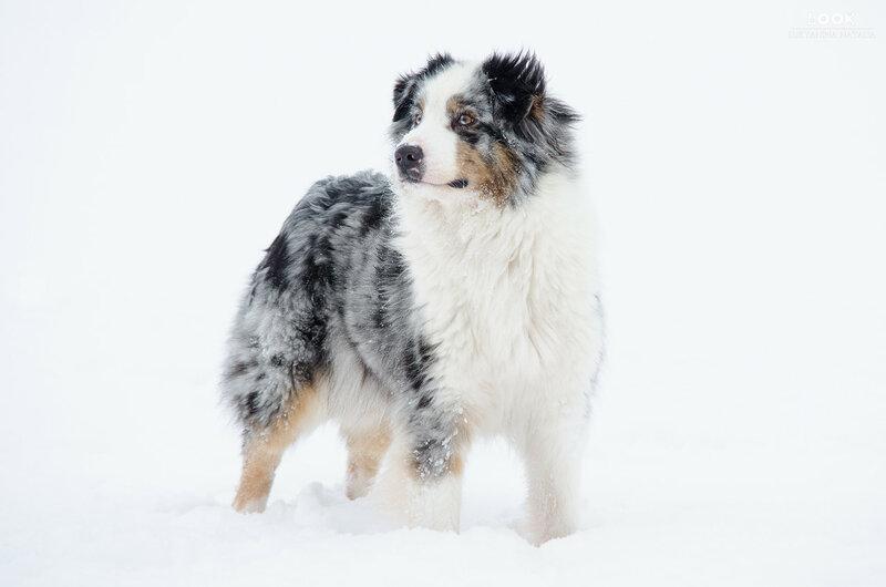 Мои собаки: Зена и Шива и их друзья весты - Страница 6 0_a771c_f1f40836_XL