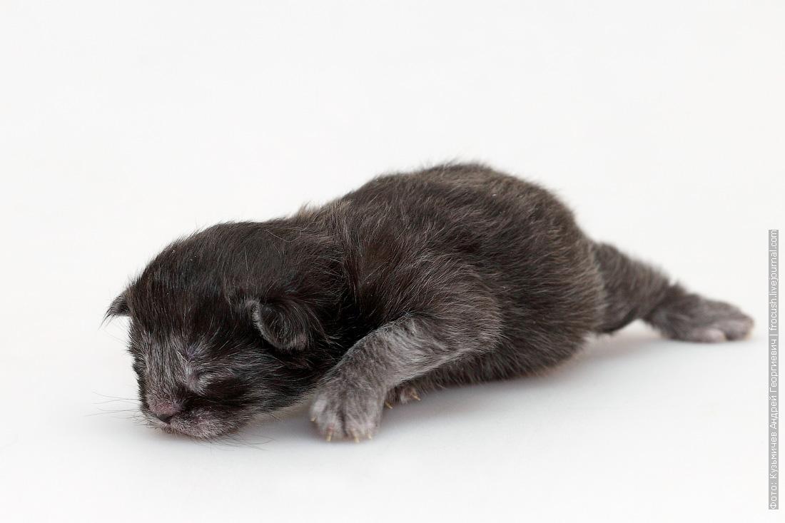 котенок Мейн-кун новорожденная кошка