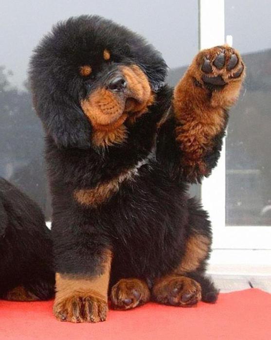 Собачки щеночки, которых хочеться потискать   просто не удержаться!
