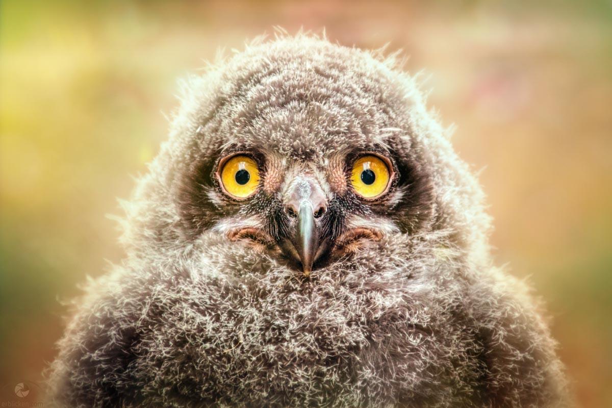 Grumpy snowy owl chick