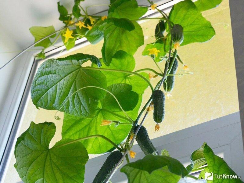 Как вырастить огурцы на балконе в домашних условиях пошагово