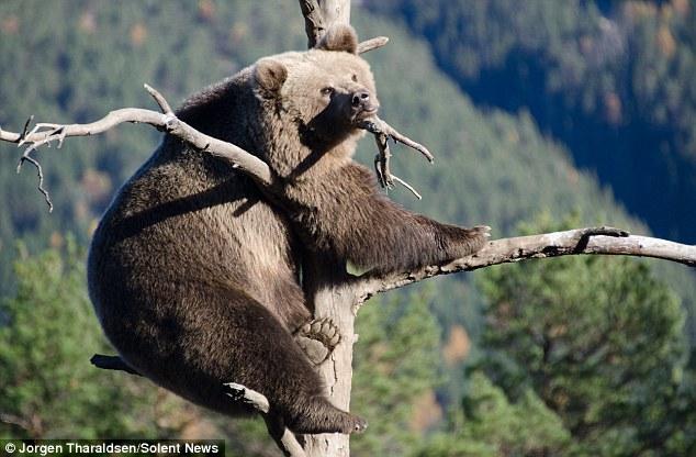 бурый медведь на суку