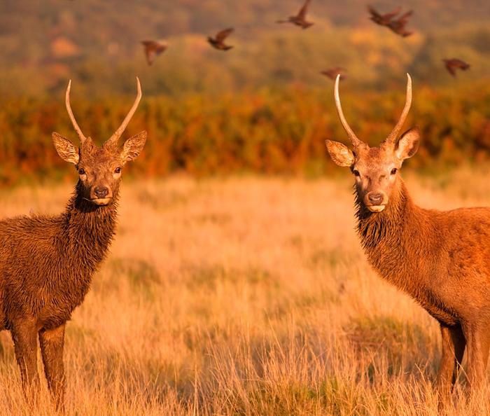 Два молодых оленя.