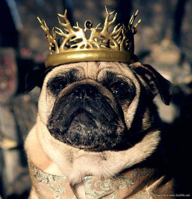 1422661699_10-game-of-thrones-cute-pugs.jpg