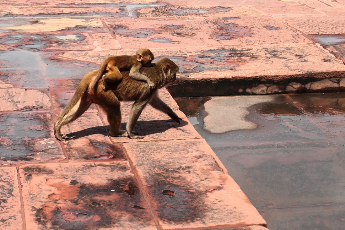 Фото 24. Стоит ли ехать на экскурсию по Золотому кольцу Индии. Вездесущие обезьяны