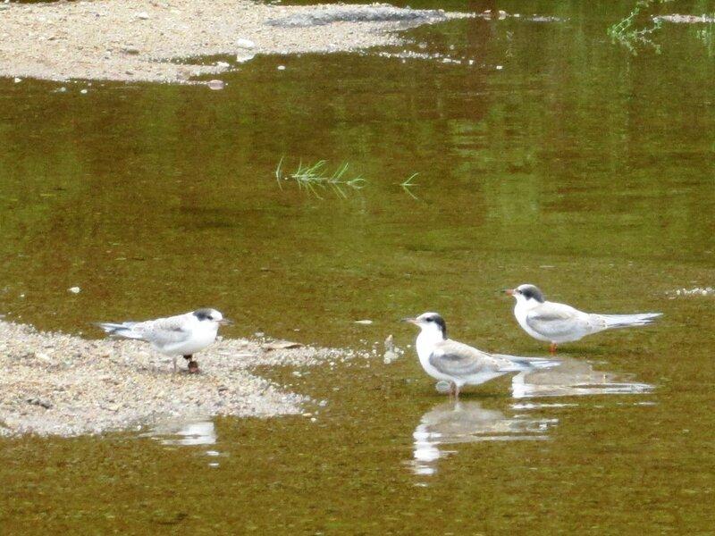 речные чайки