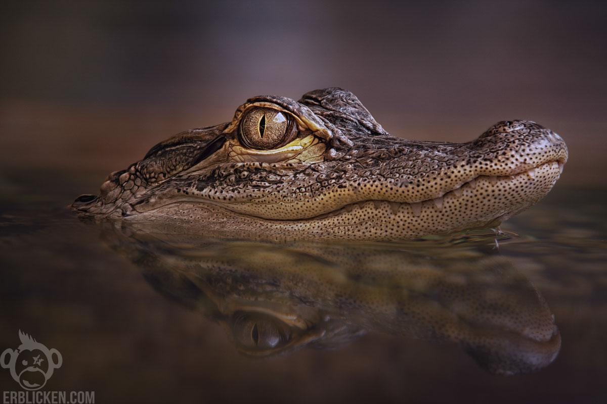 Mississippi-Alligator - American alligator