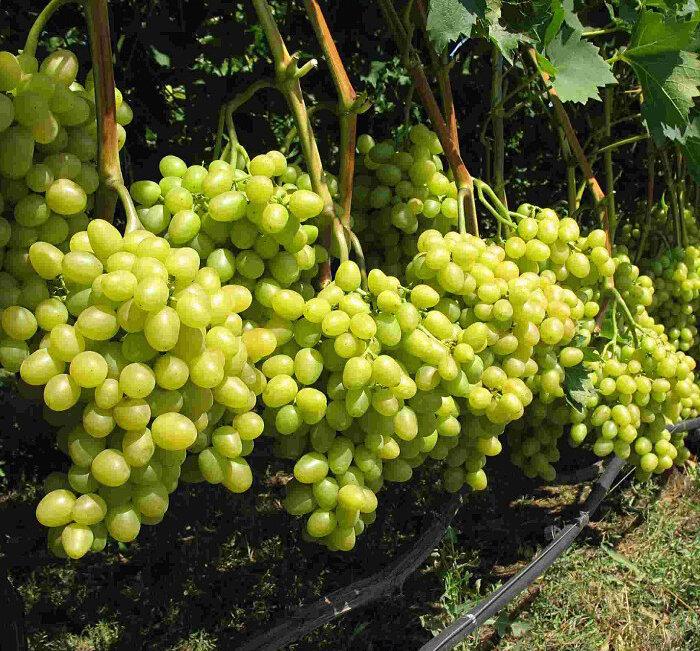 Виноград Супер-Экстра рекомендации
