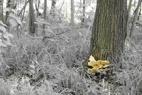 Трутовик серно-желтый (Laetiporus sulphureus) Автор фото: Вячеслав Степанов