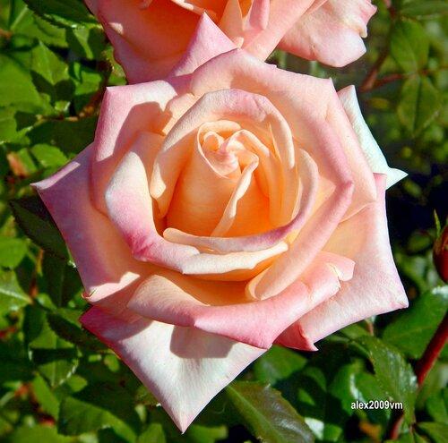 В бело-розовых тонах