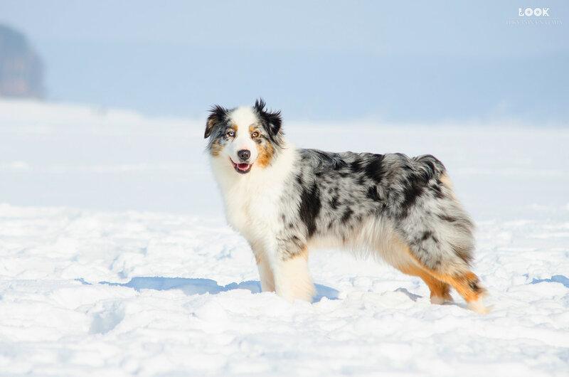 Мои собаки: Зена и Шива и их друзья весты - Страница 9 0_a83e8_77e6cfcd_XL